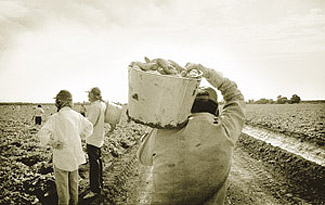 Workers harvesting cucumbers, giving root to a dream.