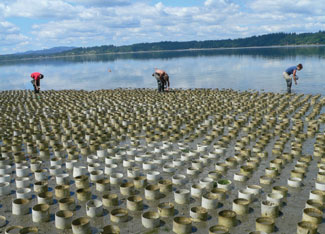 Geoduck farm production