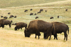 A cooperative of bison ranchers