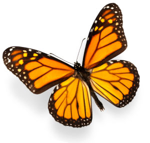 Where Have All Monarchs Gone >> Monarch Butterflies Where Have They Gone Pcc Community Markets