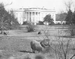 White house w/sheep