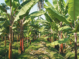 Image of a banana field