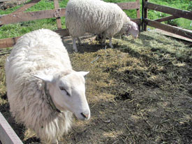 Sheep at the Sally Jackson farm