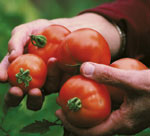 Hands holding tomatoes - locally grown of course!