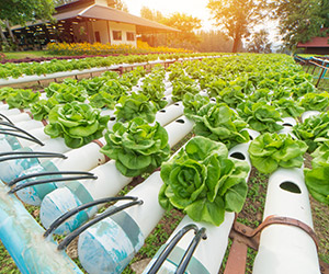 hydroponics farm cabbage