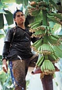 worker in banana tree