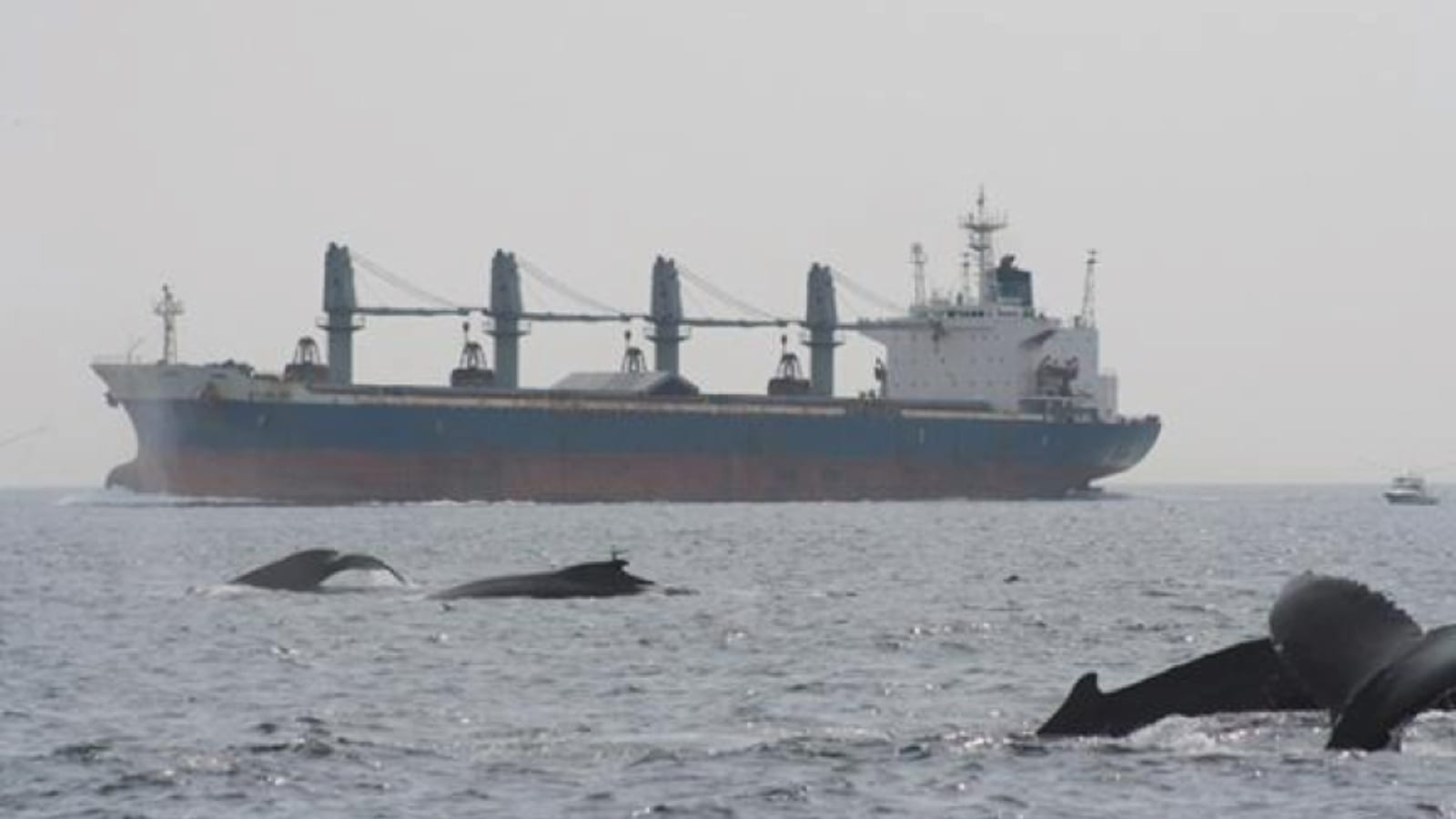 orca whales swimming near a tanker ship