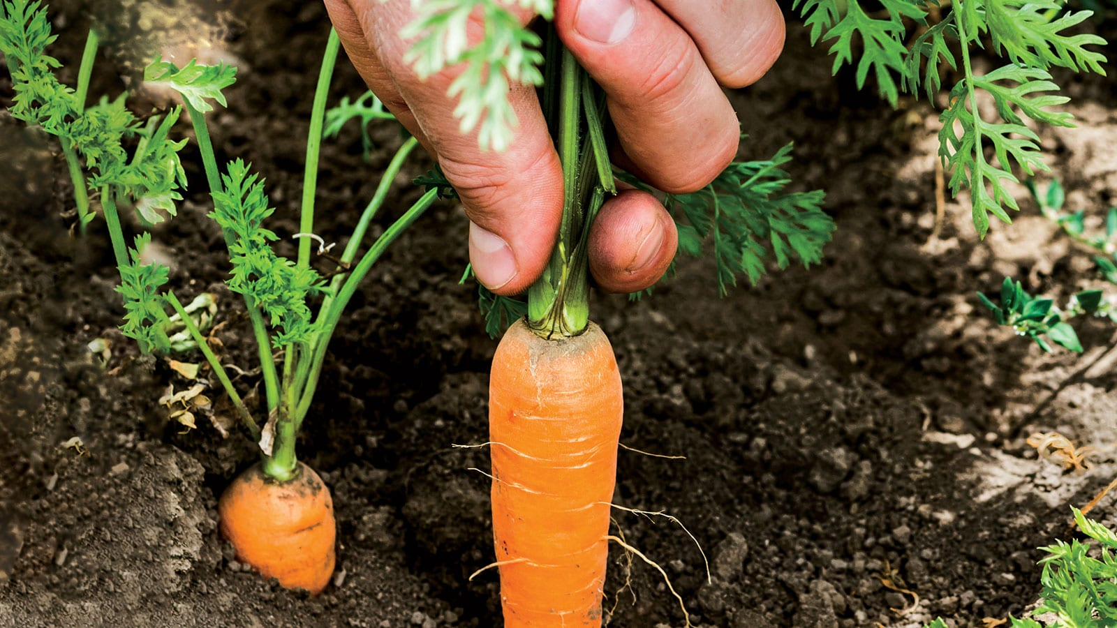 Fresh grown carrot being pulled up from the dirt.