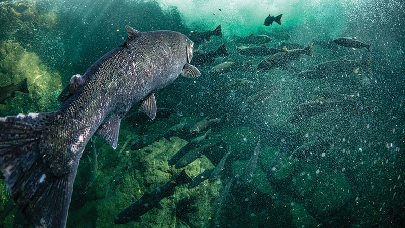 Wild Coho salmon swimming with a school of fish.