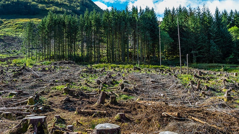 Beautiful forest cleared by loggers.