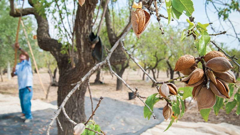 Harvesting almonds growing on a tree.