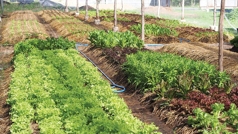 Small organic vegetable farm.
