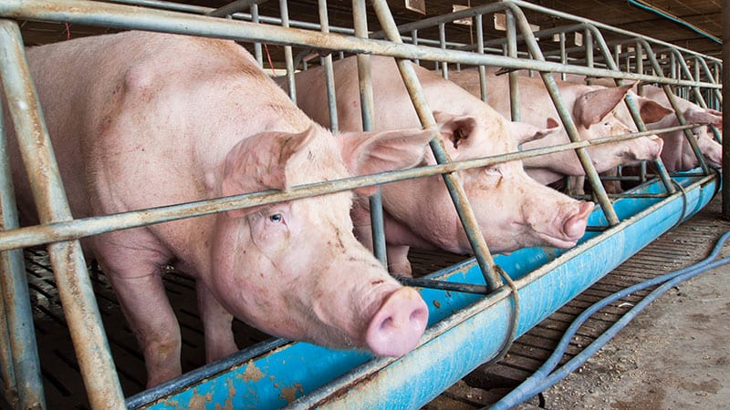 Caged pigs at a feeding troff on a commercial pig farm.
