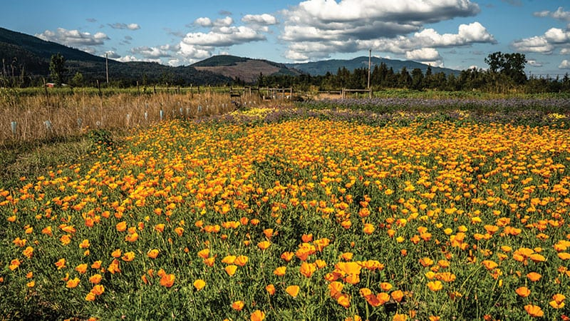 Flower field at Moon Valley Organics