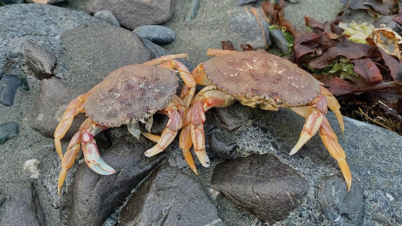 Live crabs resting on a rock on the beach