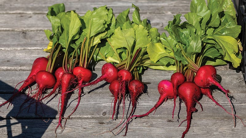 Radishes on the rooftop garden at University District Food Bank