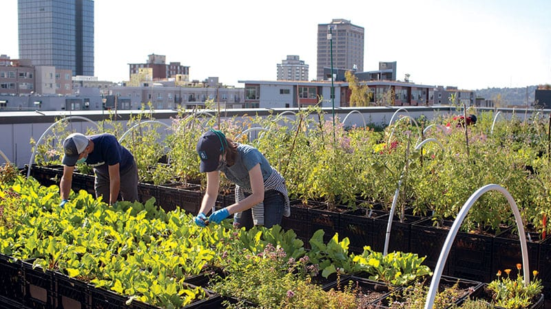 Two people tending the University District Food Bank rooftop garden