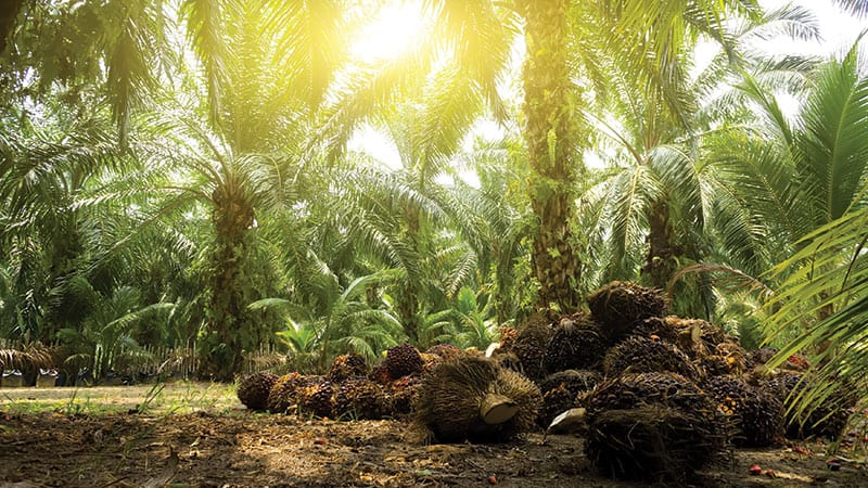 A palm oil tree farm