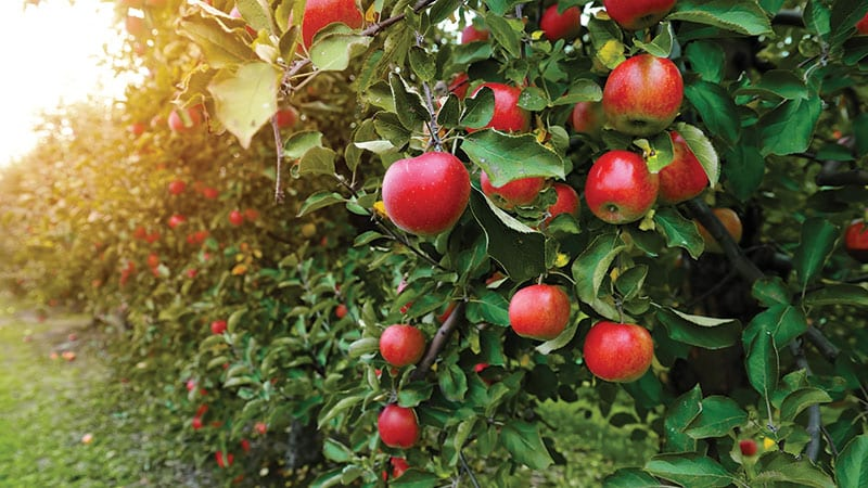 Close up of Apples growing in an orchard