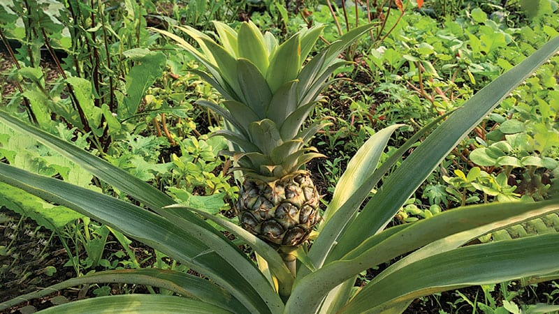 A pineapple growing at The Bellevue Urban Garden. Photo courtesy of Nancy Gellos